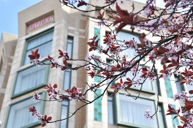 Magnolia Hotel obscured by cherry blossoms branch.